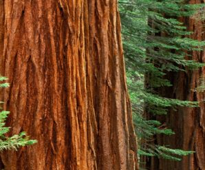 Mariposa Grove of Giant Sequoias Set to Reopen in Early Summer 2017