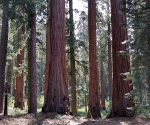 Where To See The Giant Sequoias This Fall